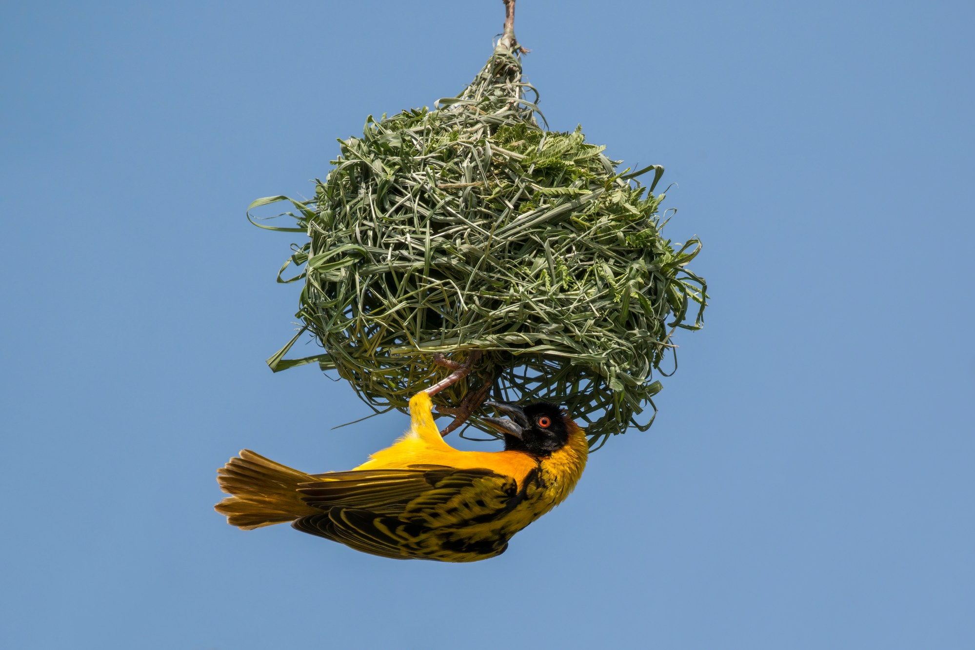 hight resolution of male black headed weaver ploceus cucullatus building his nest