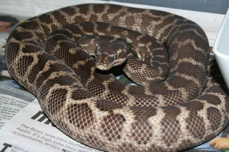 Roughscaled python  Wikipedia