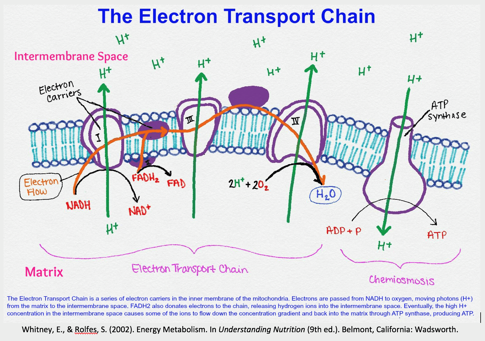 simple electron transport chain diagram ez wire harness fundamentals of human nutrition