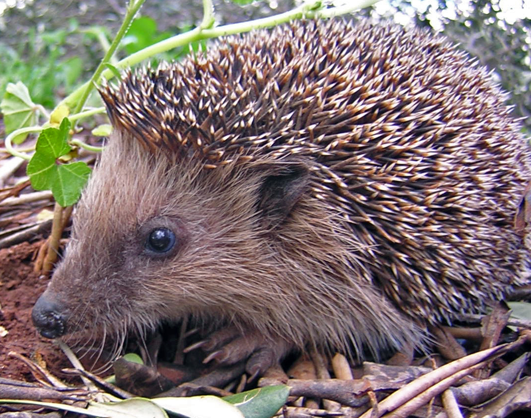 hedgehog wikipedia