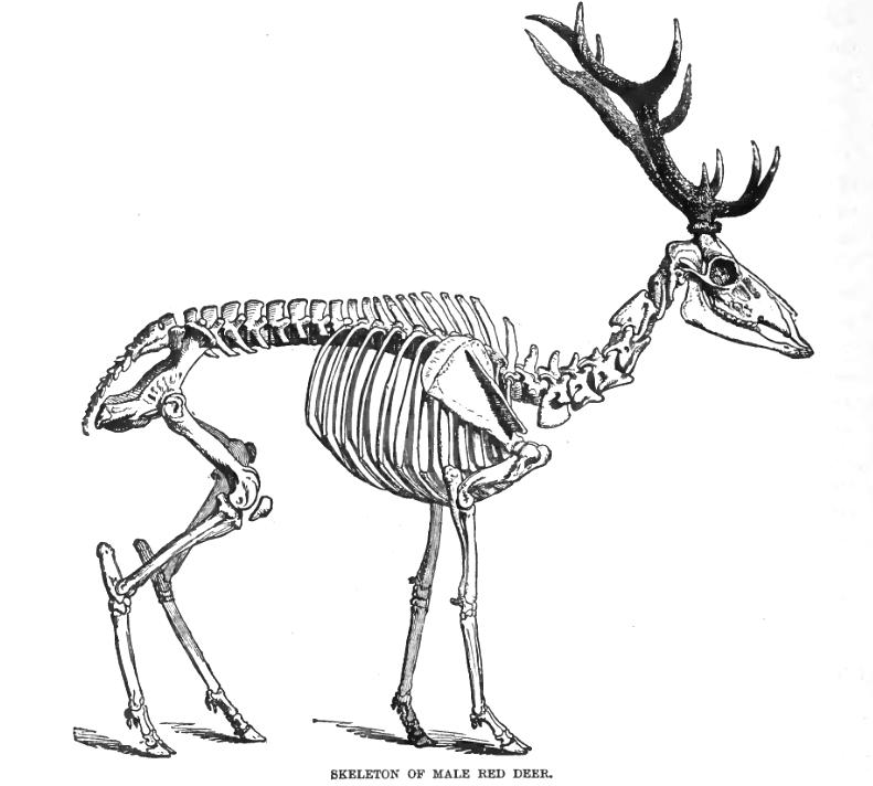 squelette — Wiktionnaire