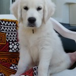 File White Golden Puppy Jpg Wikimedia Commons