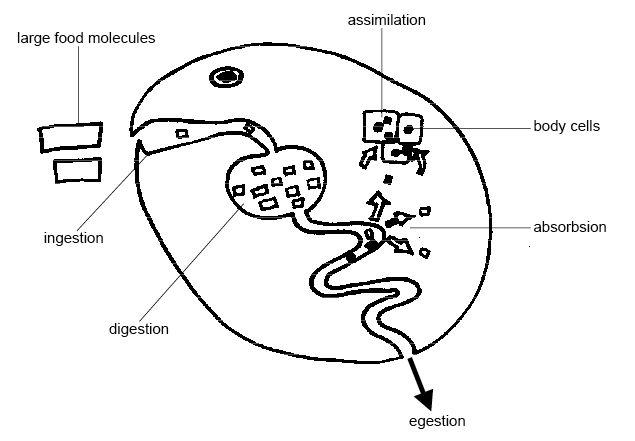 diagram of body tissues