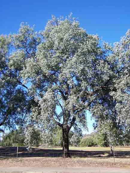 Eucalyptus melanophloia  Wikipedia