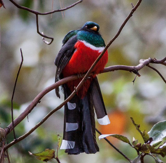 mountain trogon wikipedia