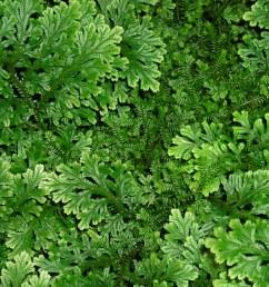 club mos plant diagram [ 1280 x 1077 Pixel ]