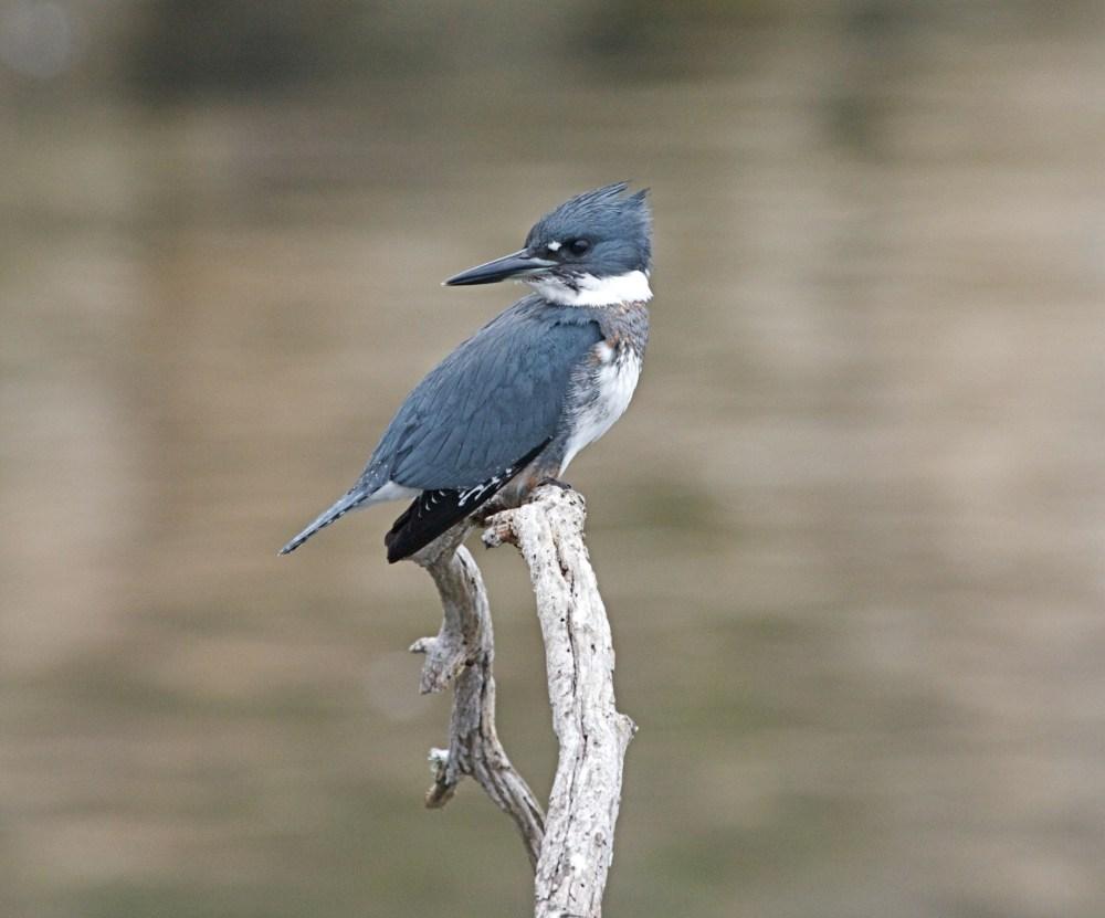 https://i0.wp.com/upload.wikimedia.org/wikipedia/commons/7/74/Belted_Kingfisher_m..jpg?resize=1000%2C831&ssl=1