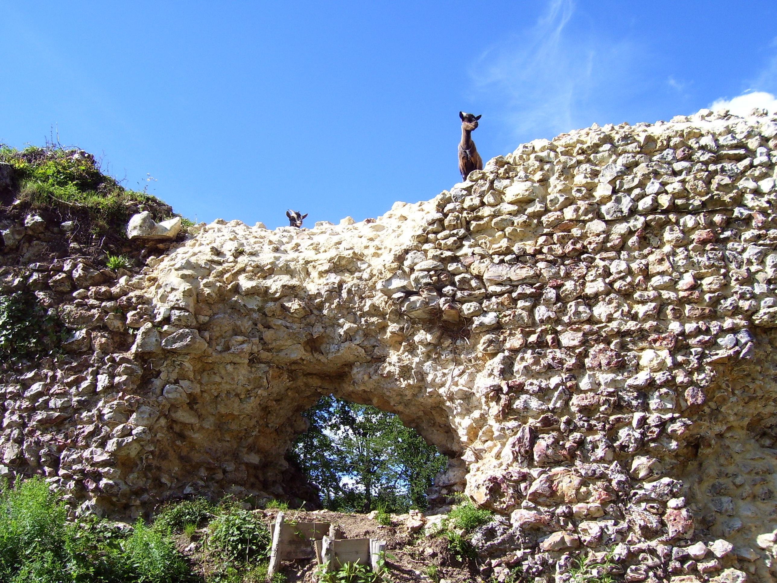 chèvres château fort montfort-sur-risle
