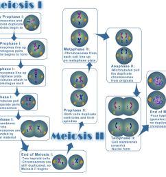 file meiosis jpg [ 1064 x 916 Pixel ]