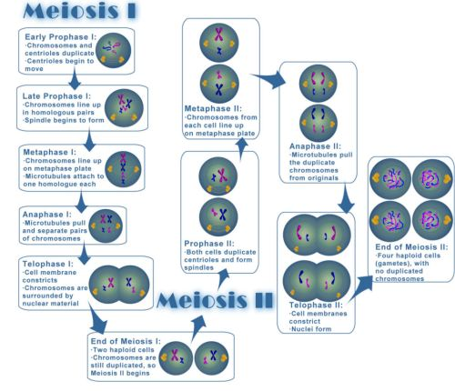 small resolution of file meiosis jpg