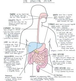 file digestive system diagram jpg wikimedia commons rh commons wikimedia org lion digestive system diagram goat digestive system diagram [ 1500 x 1682 Pixel ]