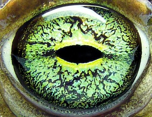Green eye of Bufo viridis