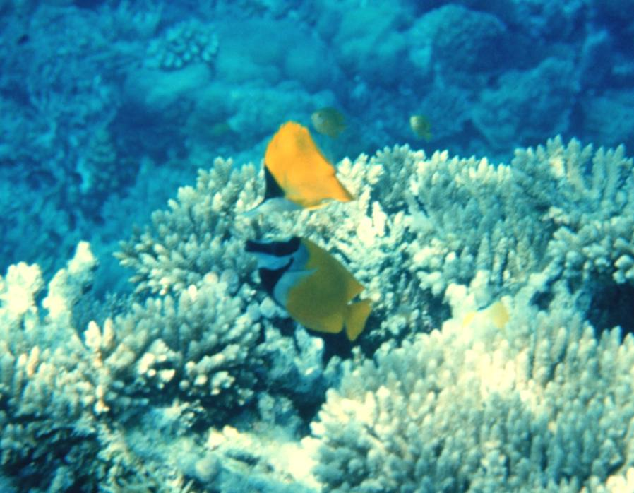 Rabbitfish Wikipedia