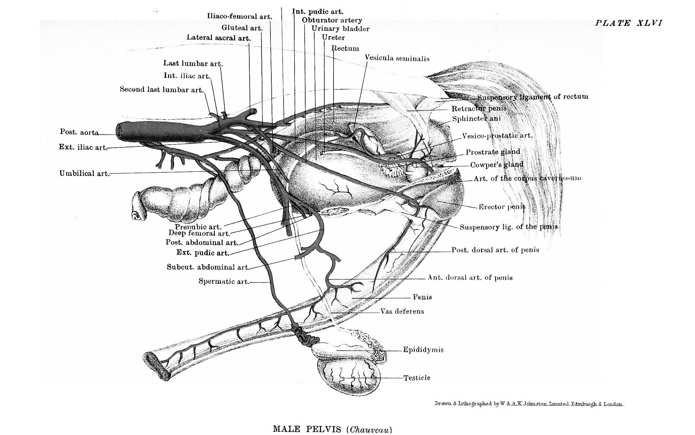File:The anatomy of the horse, a dissection guide (1902