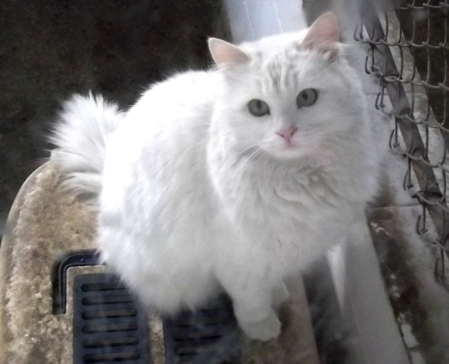 Kucing Anggora Ankara Putih