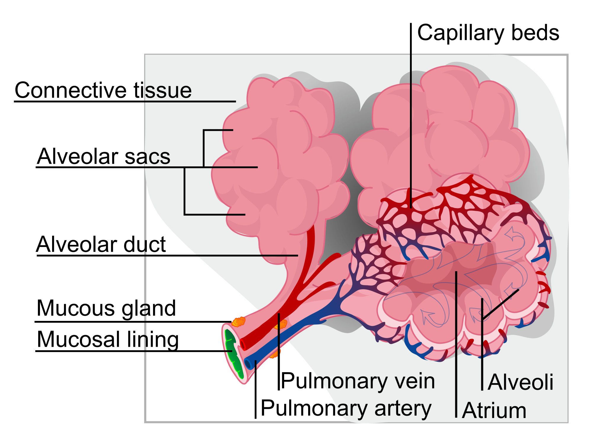 hight resolution of lung diagram cow
