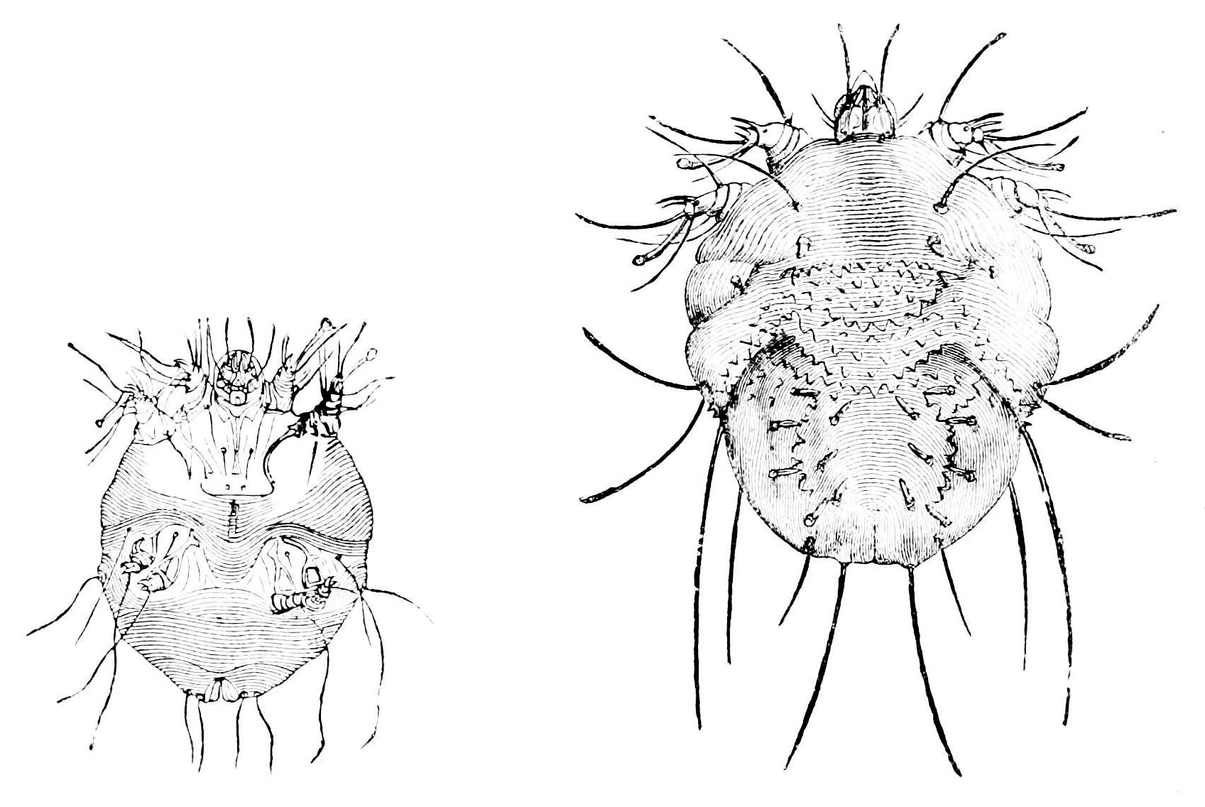 File:PSM V14 D526 Male and female sarcoptes scabiei.jpg