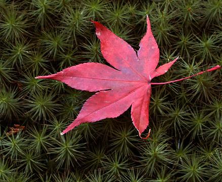 Maple leaf on moss