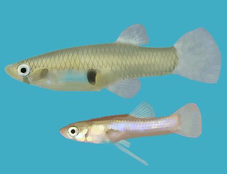 Eastern mosquitofish, Gambusia holbrooki