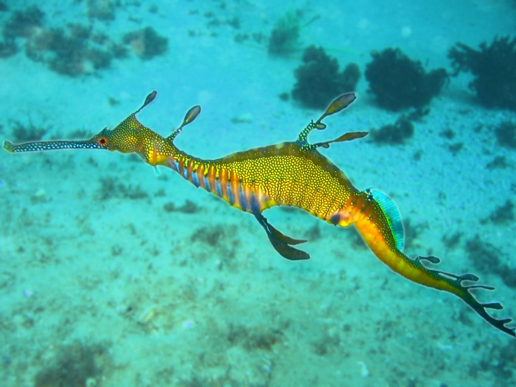 common seadragon wikipedia