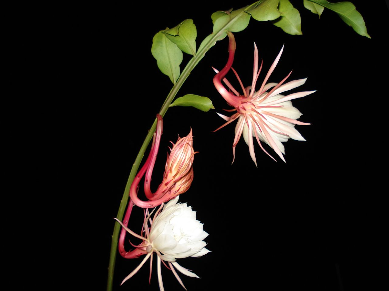 https://i0.wp.com/upload.wikimedia.org/wikipedia/commons/7/7a/Epiphyllum_oxypetalum200669888.jpg