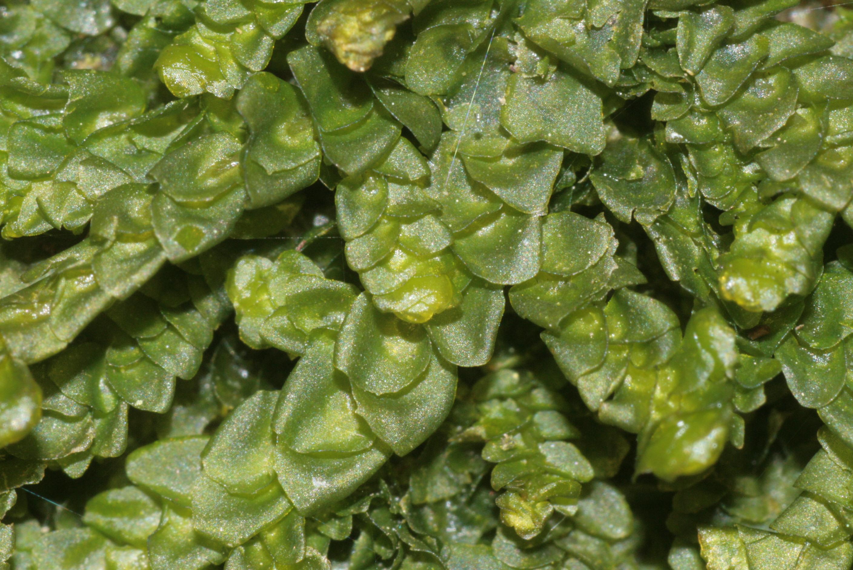 Fileporella Platyphylla (c, 144742480323) 8638jpg