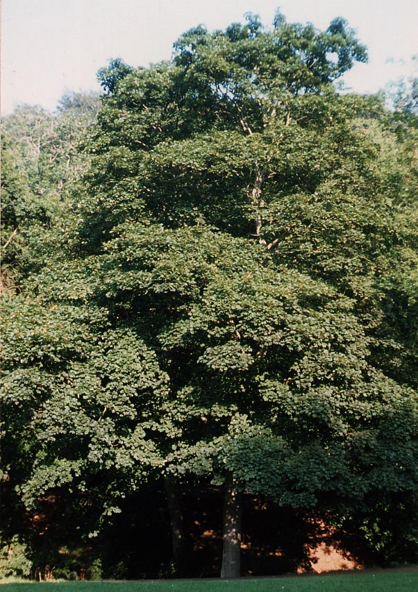 Sycamore Maple (Acer pseudoplatanus), tree