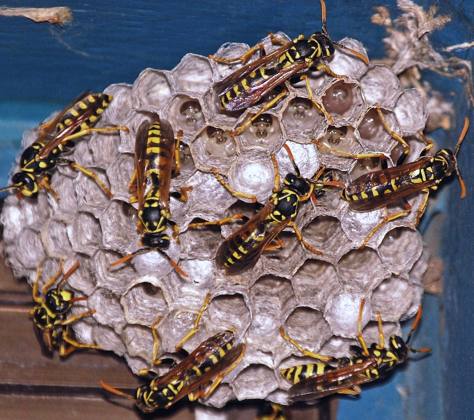 hight resolution of social wasps
