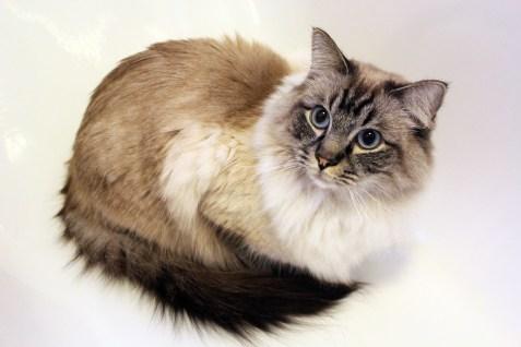 Risultati immagini per colourpoint cat