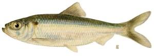 Lake Champlain invasive fish alewife