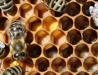 Pollen als Bienenfutter