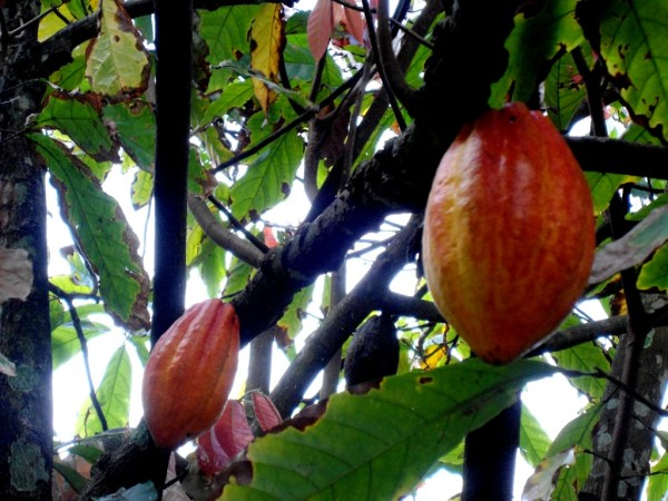 Image result for cocoa cultivation Wikimedia Commons