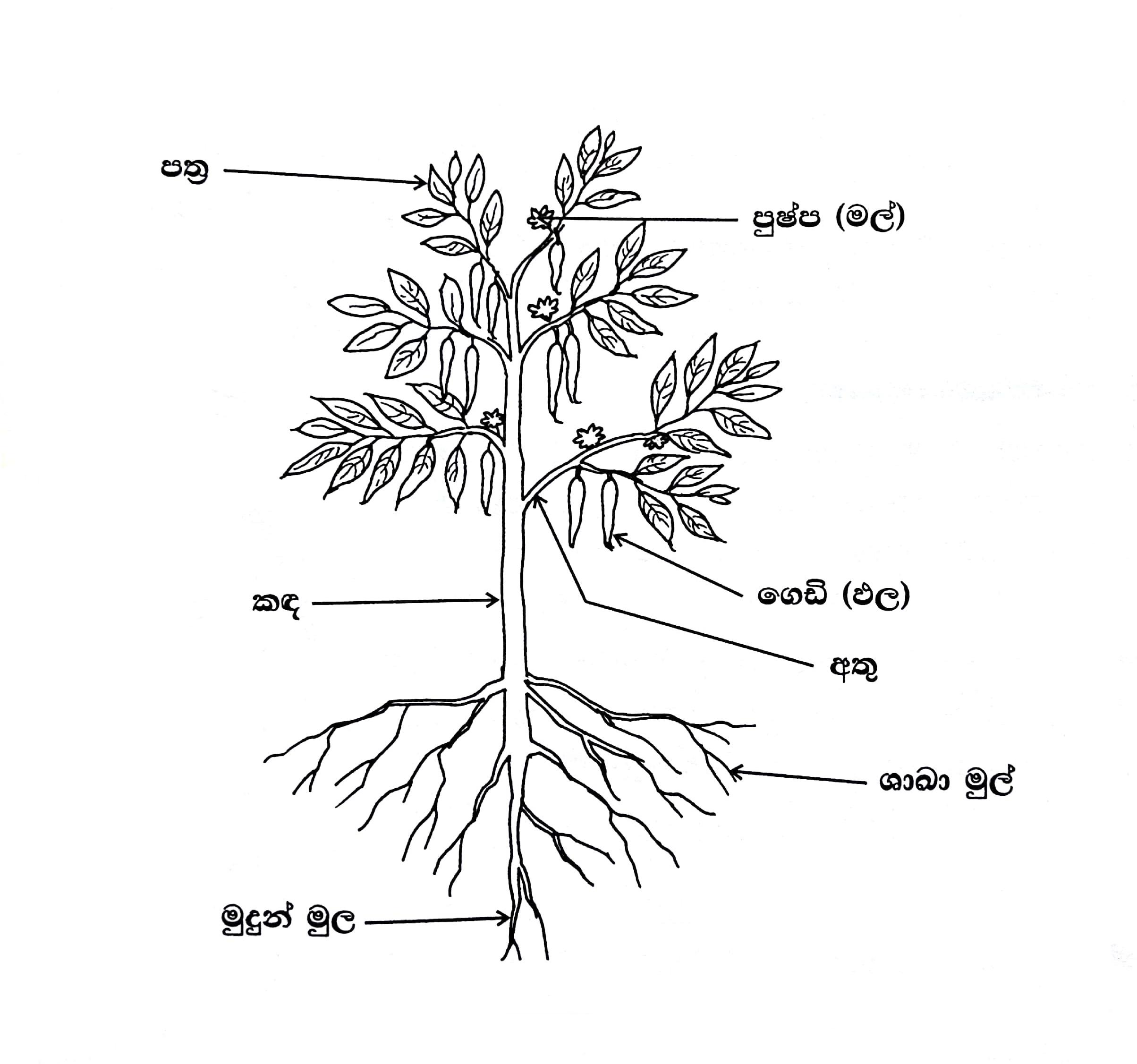 File Parts Of Plant Sinhala