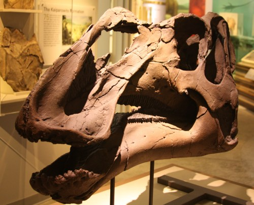 https://i0.wp.com/upload.wikimedia.org/wikipedia/commons/7/7d/Gryposaurus_Monumentsis_Skull%2C_Alf_Museum.JPG?resize=500%2C402&ssl=1