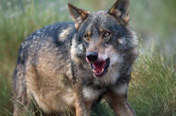 https://i0.wp.com/upload.wikimedia.org/wikipedia/commons/7/7d/Iberian_Wolf.jpg?resize=354%2C234