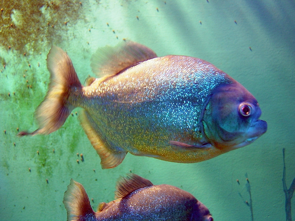 Fish Wallpaper Hd Piranja Wikipedia