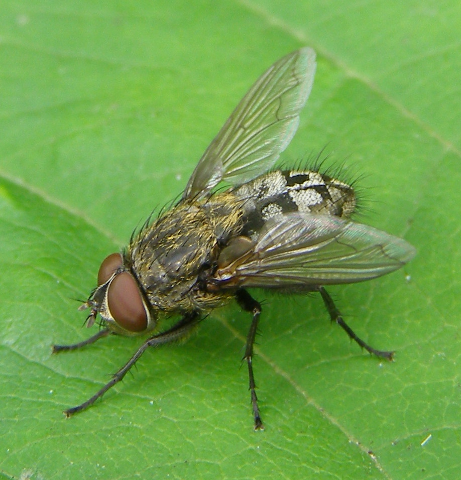 Cluster Fly  Wikipedia