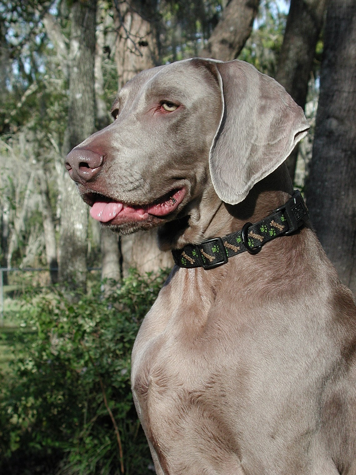 Weimaraner Walker portrait Gray Pitbull Dog