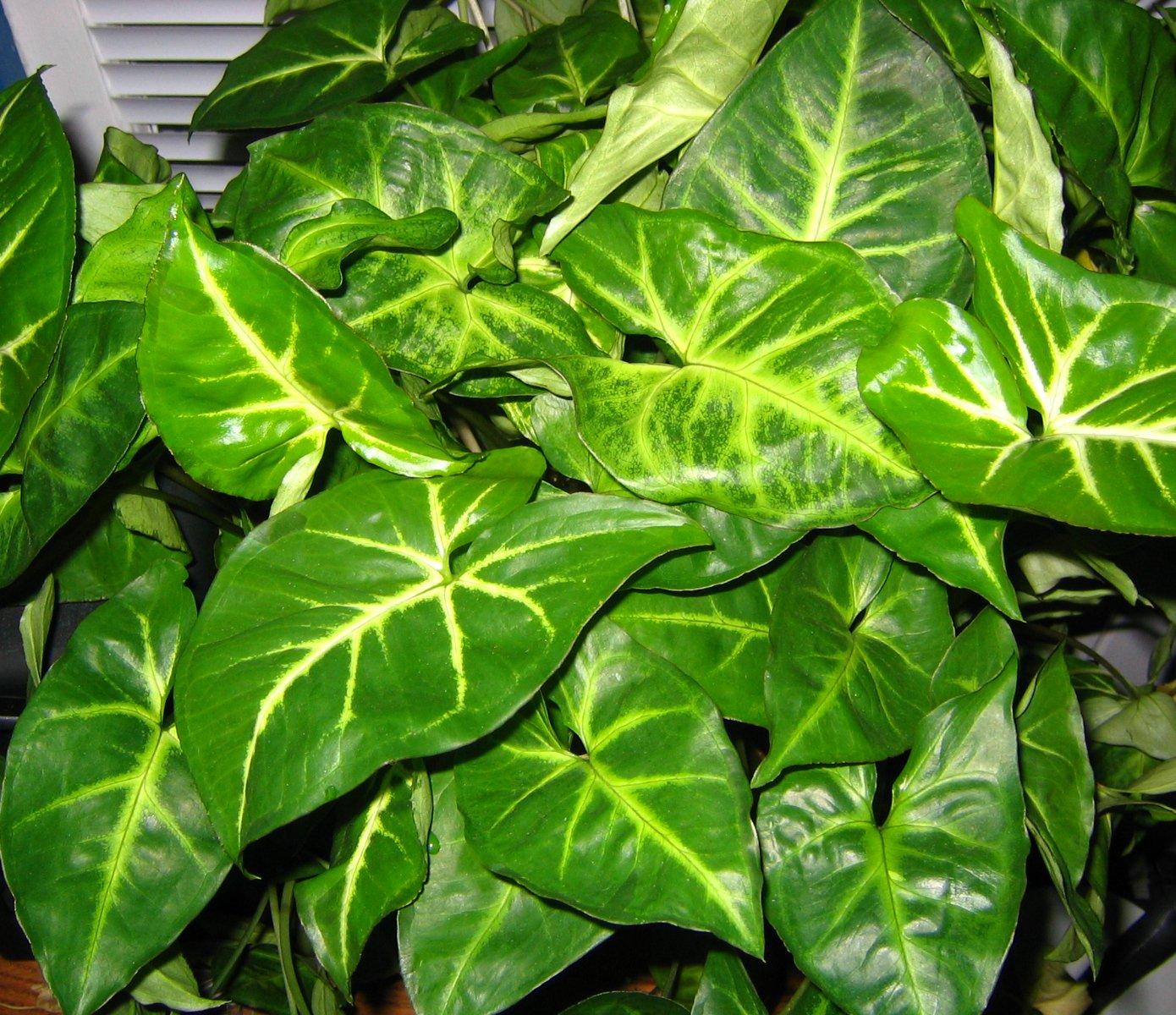 Best Kitchen Gallery: File Arrowhead Plant 002 Wikimedia Mons of Arrowhead House Plant Names on rachelxblog.com