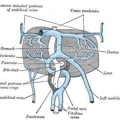 Pig External Anatomy Diagram Lowrance Hds 5 Wiring Vitelline Veins - Wikipedia