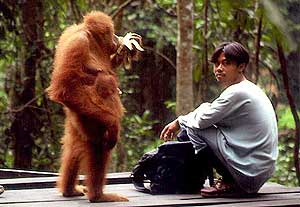 Orang utan and man at Bukit Lawang, Sumatra, I...