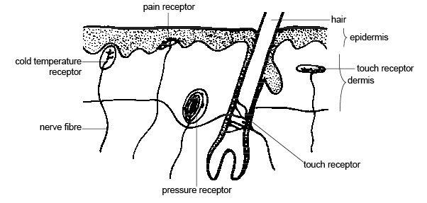 Raul Blog: Unlabeled Skin Layer Diagram