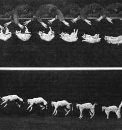 cat righting reflex [ 1251 x 737 Pixel ]