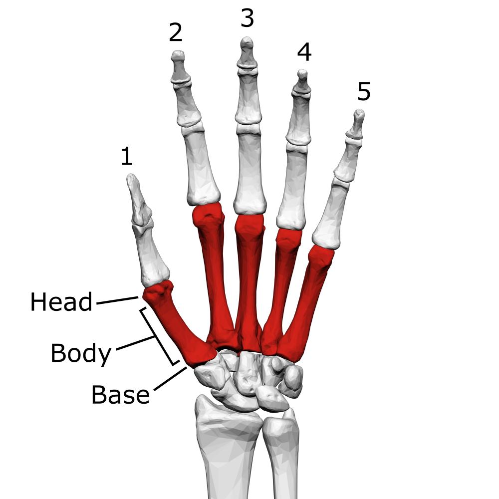 medium resolution of metacarpal bones