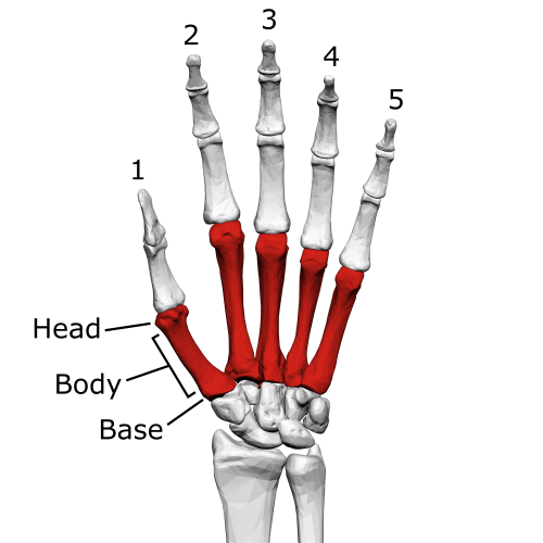 small resolution of metacarpal bones