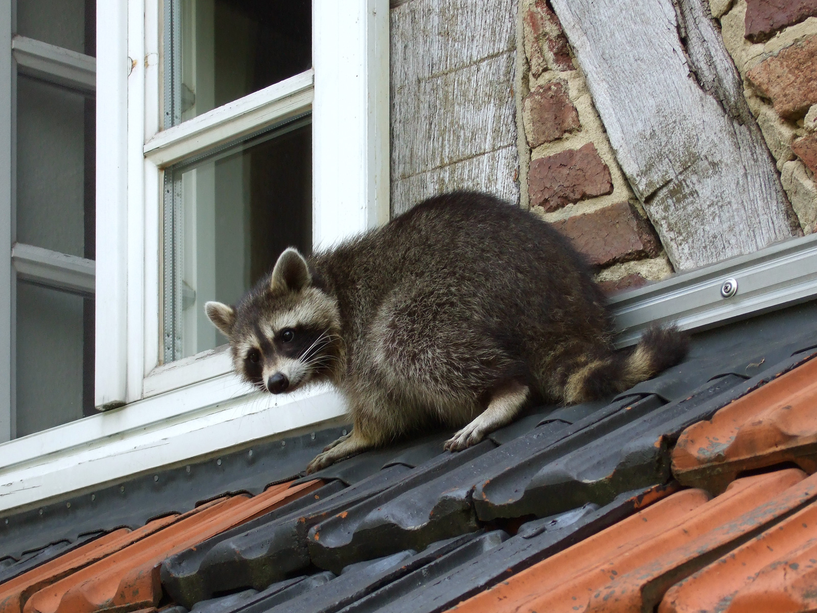 Racoon, Wiki.