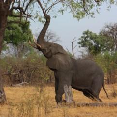 African Elephant Food Chain Diagram 2004 4l60e Wiring Bush Wikipedia A Bull Stretching Up To Break Off Branch In The Okavango Delta Botswana
