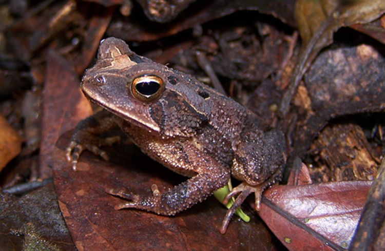Incilius Canaliferus Wikipedia