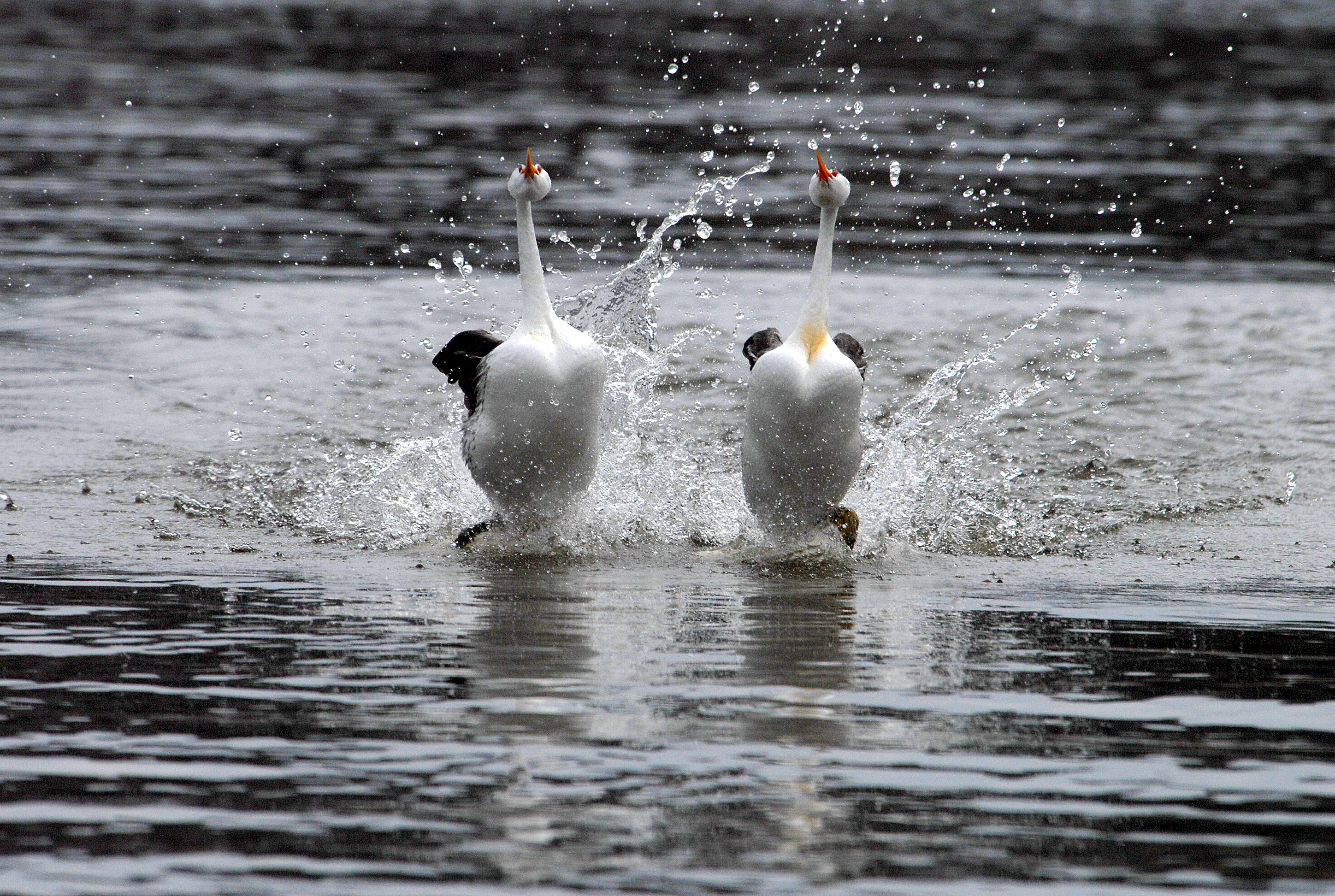 https://i0.wp.com/upload.wikimedia.org/wikipedia/commons/8/80/Clarks_grebes_rushing_%286862203949%29.jpg