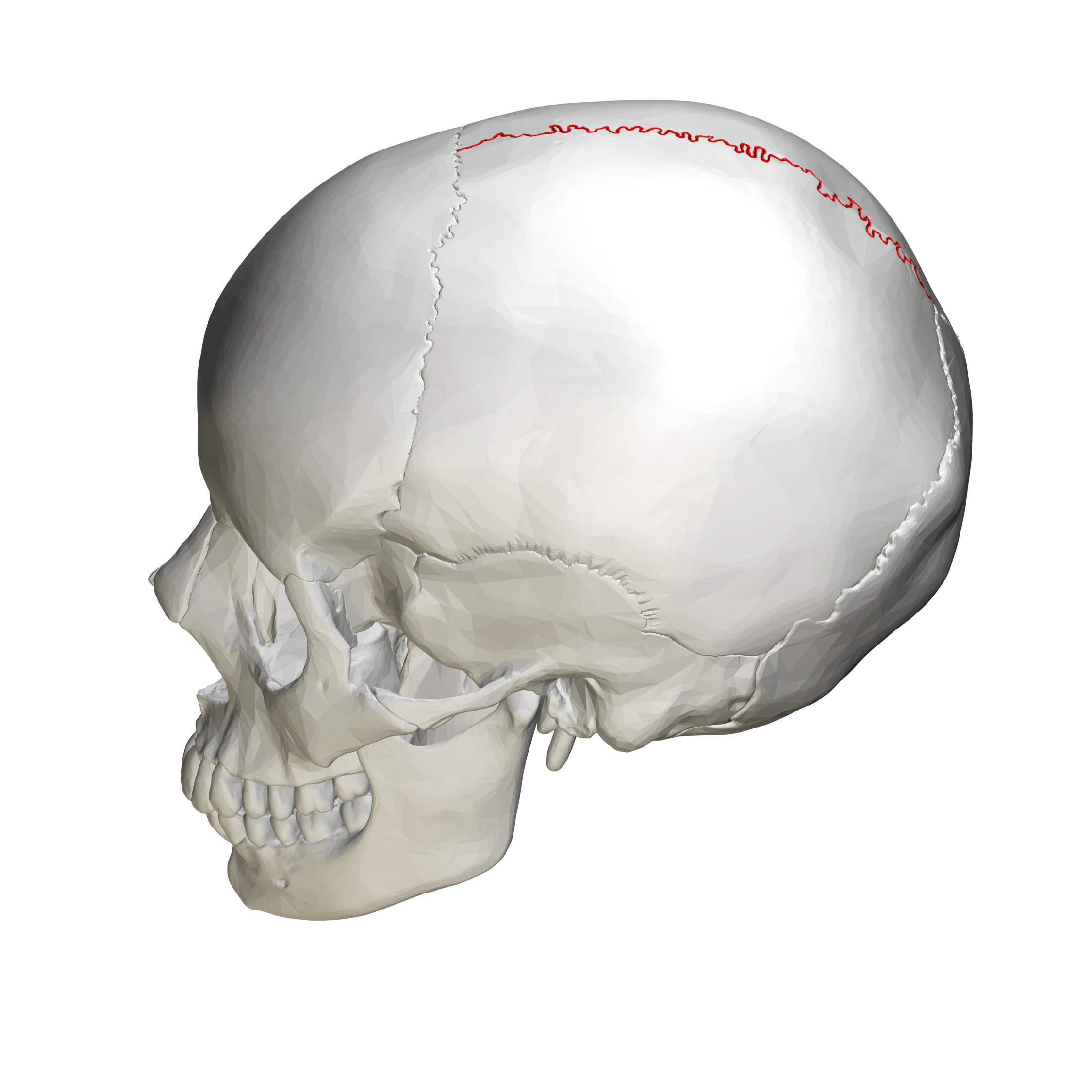 lateral view skull sutures diagram 2001 mitsubishi montero belt file sagittal suture view02 png